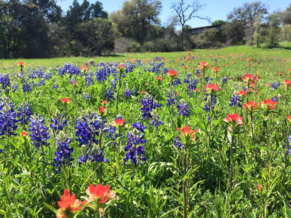 Lady Bird Johnson Wildflower Center bluebonnet Indian paintbrush