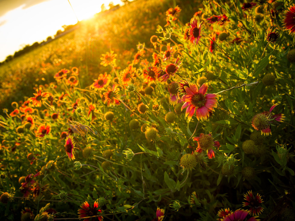 Picture of Indian blanket wildflowers at sunset
