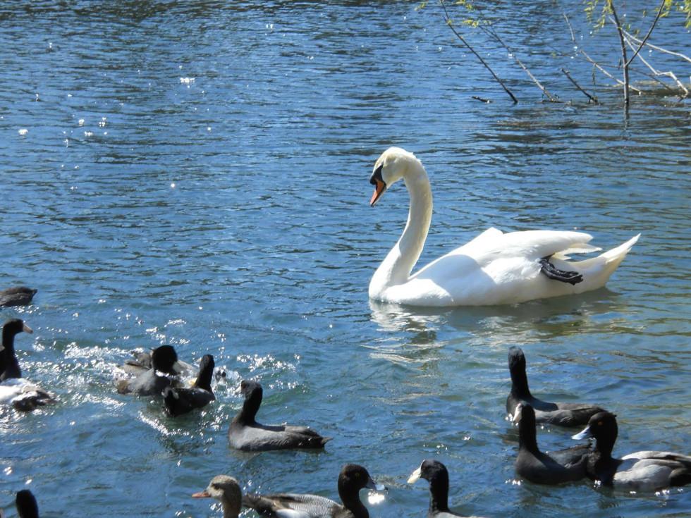 Lady Bird Lake Town Lake swan ducks