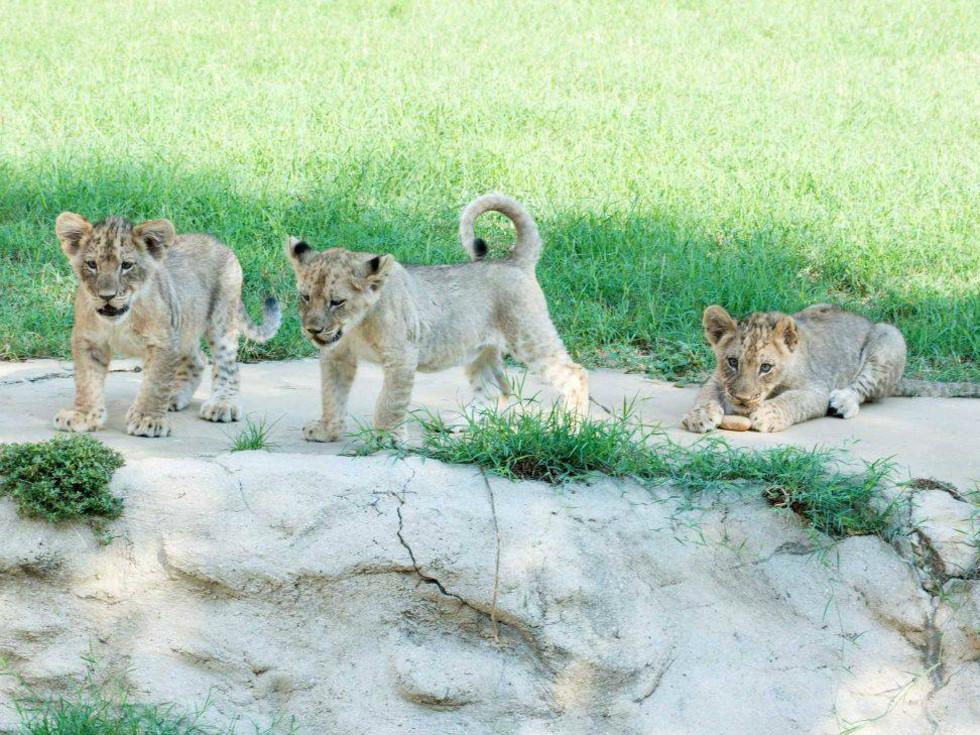San Antonio Zoo baby lion cubs Tony Parker names Axelle Josh TP November 2015
