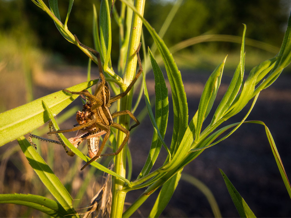 Photo of wolf spider eating grasshopper