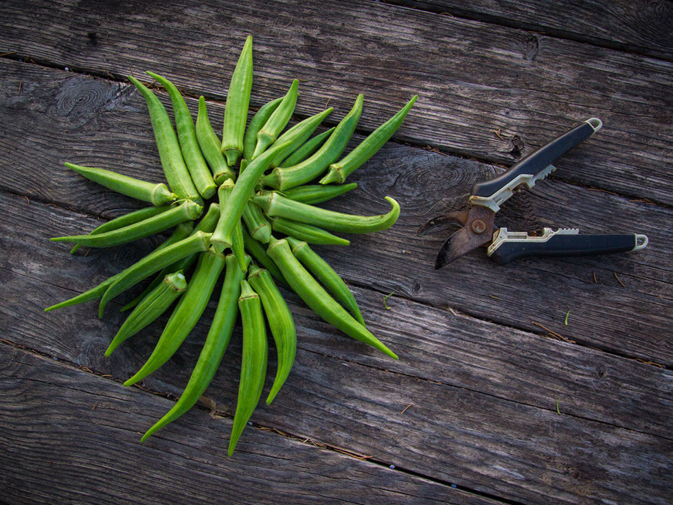 Photo of freshly harvested okra pods