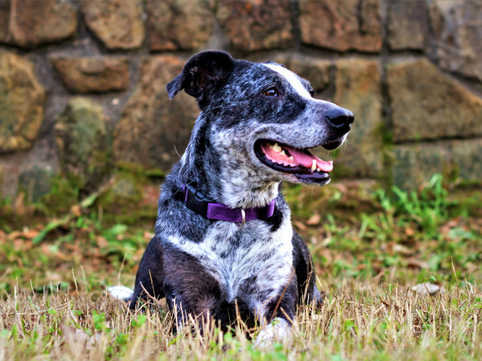 Pet of the Week_Hoffman_Blue_Catahoula