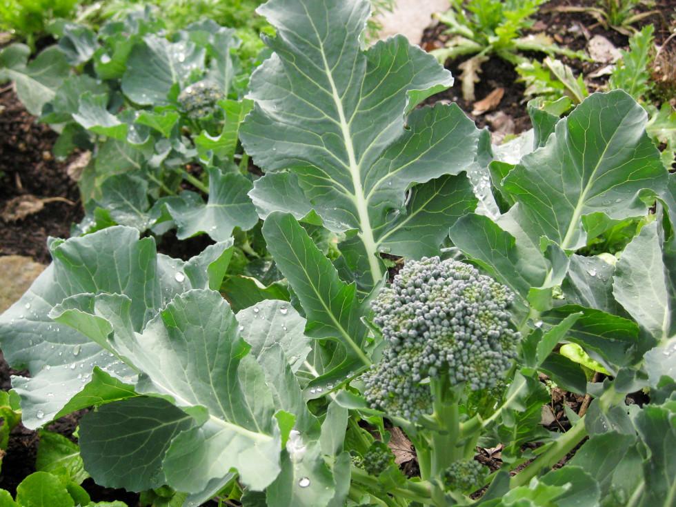 News_Peter Barnes_community gardening_broccoli