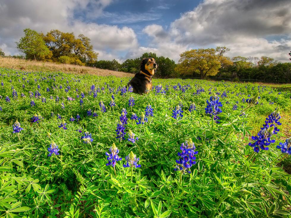 News_wildflowers_bluebonnets_dog_by dj @ oxherder arts