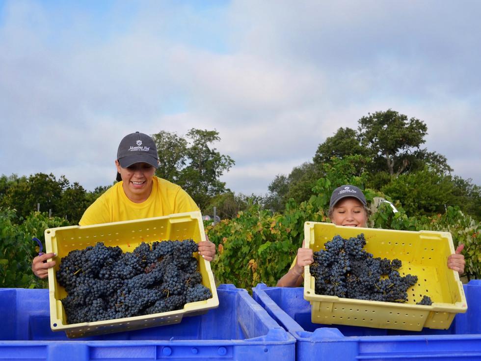Messina Hof grape harvest