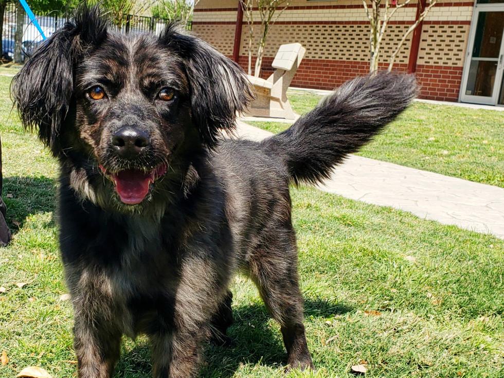 Pet of the week - Gigi Australian shepherd