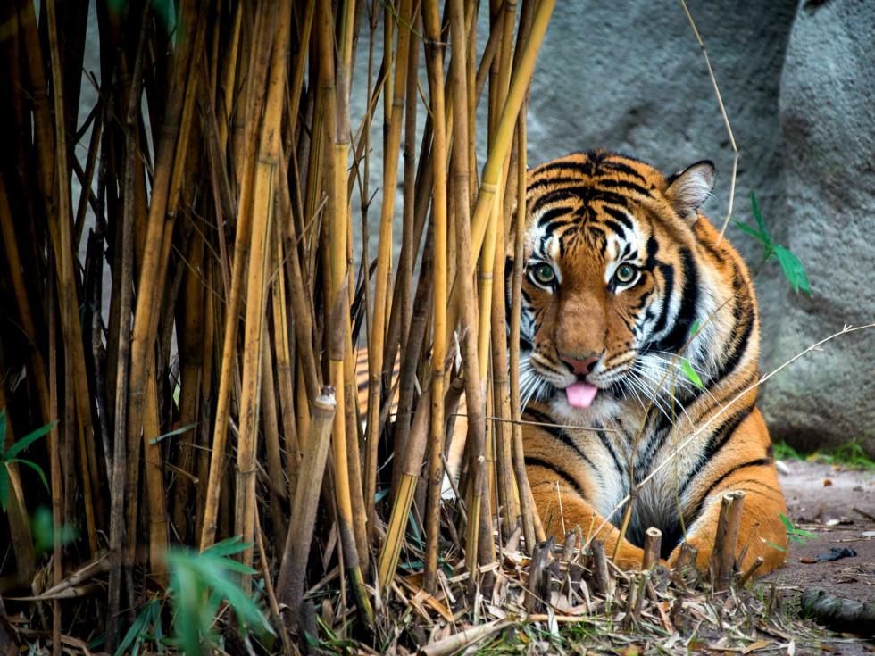 Houston Zoo tiger
