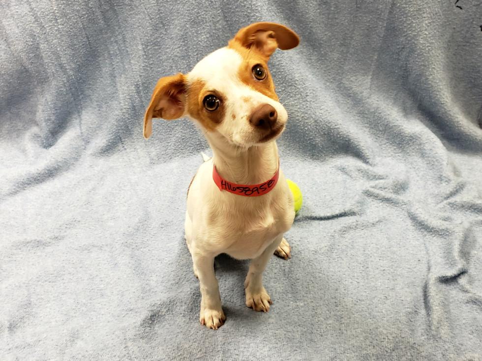 Pet of the week - BonBon Chihuahua