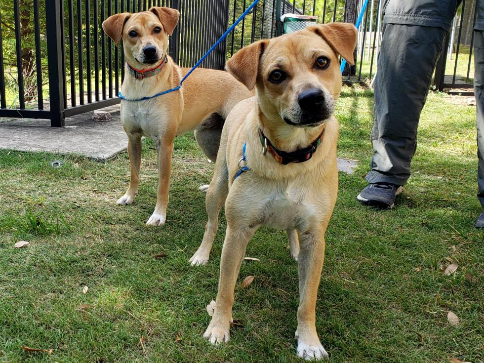 Pet of the week - Honey and Hazel retrievers