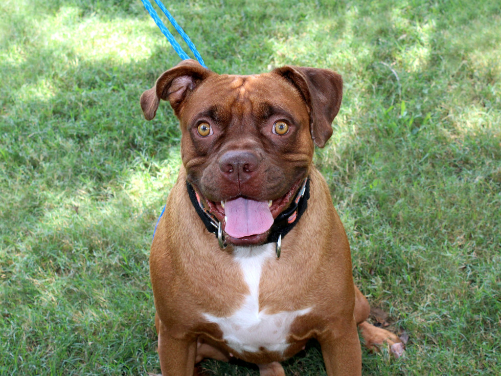 Pet of the week - Rocky boxer