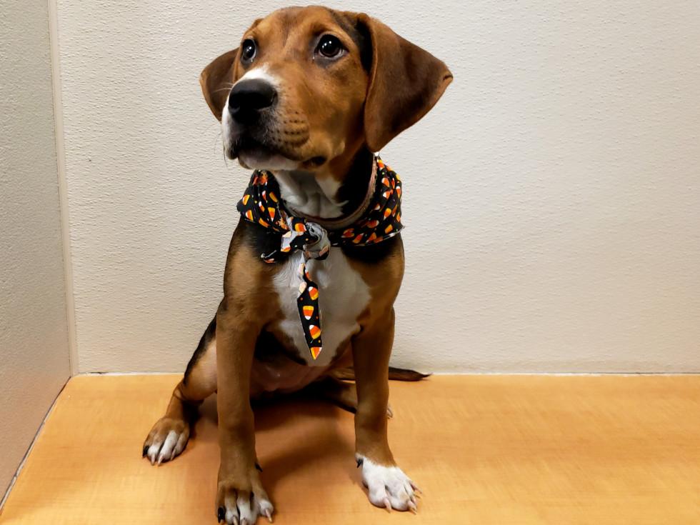 Pet of the week - Emmylou hound puppy