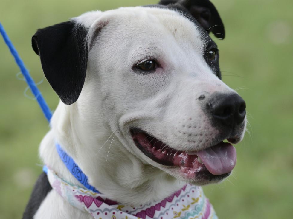 Pet of the week - Tonka Staffordshire terrier