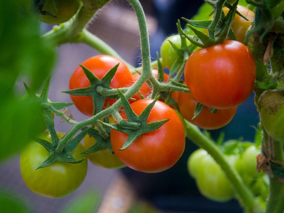 Photo of Punta Banda tomatoes growing in greenhouse