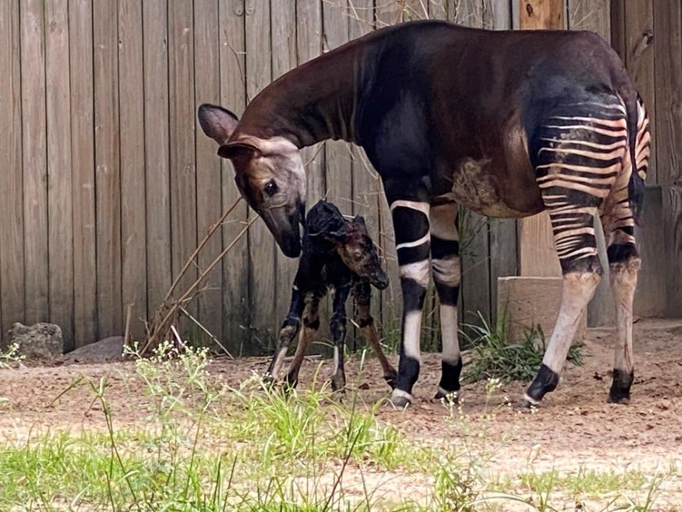 Houston Zoo okapi baby newborn