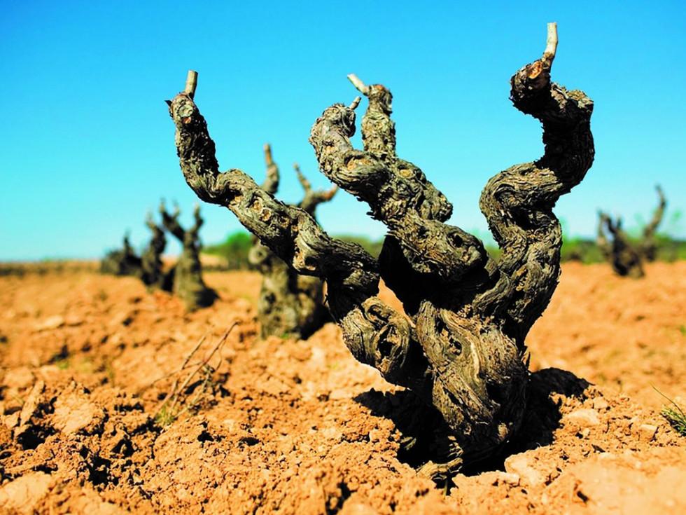 Old vine Garnarcha