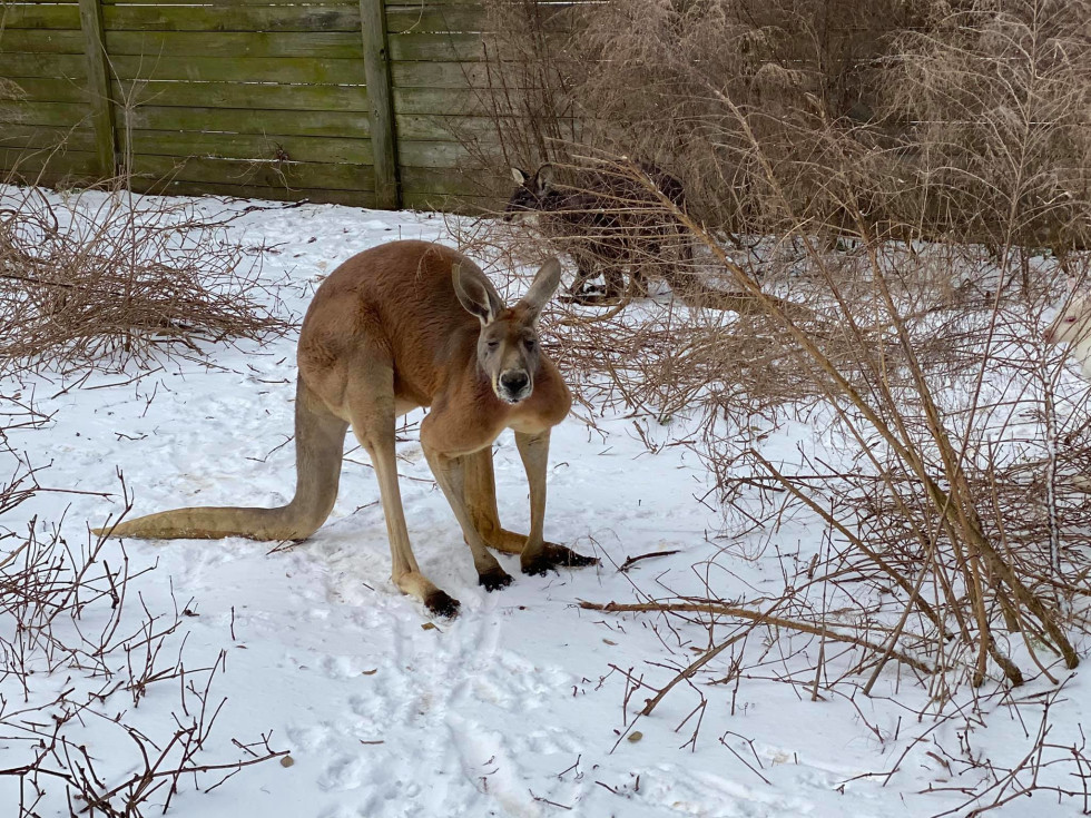 TGR Exotics Wildlife Park Spring kangaroo in snow