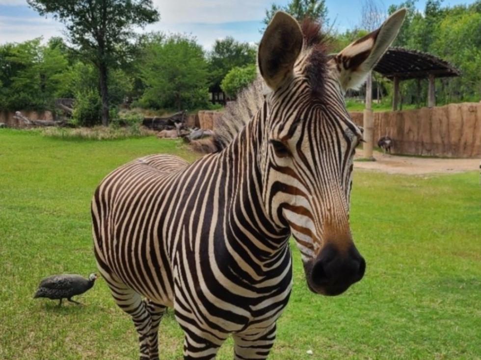 Keeya zebra
