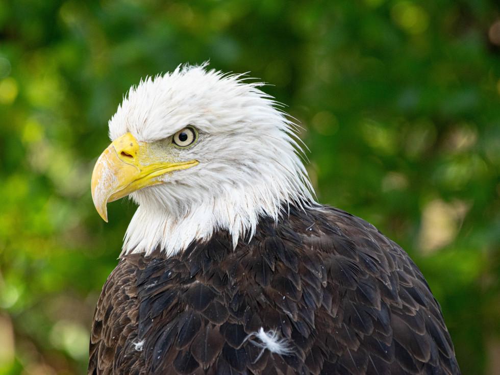 Houston Zoo bald eagle Mae