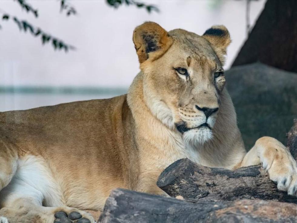 Nimue lion Houston Zoo