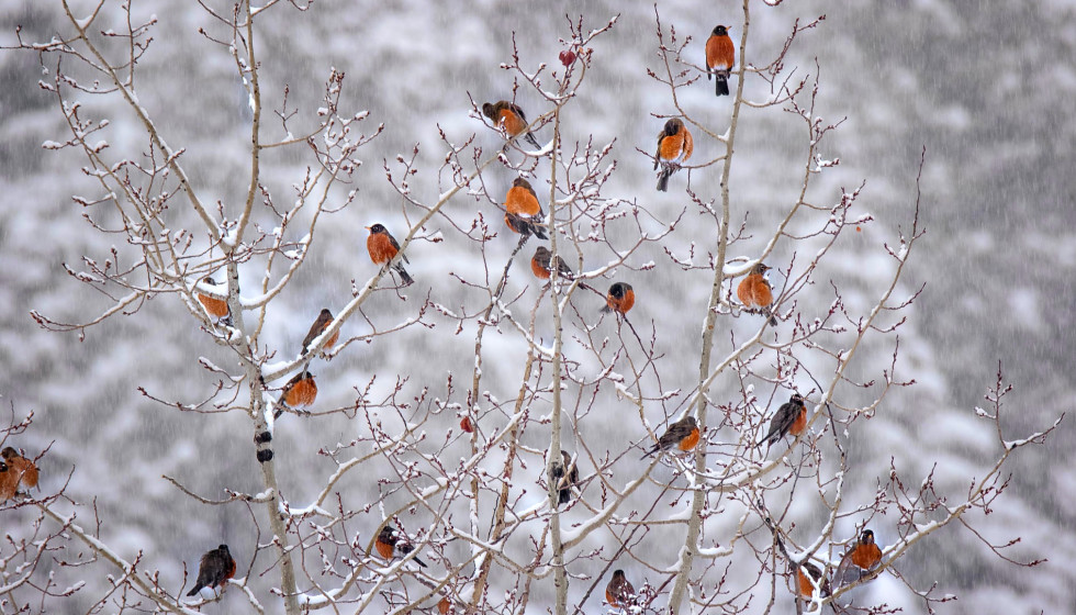 Dallas-Fort Worth is seeing flocks of robins all over their backyards