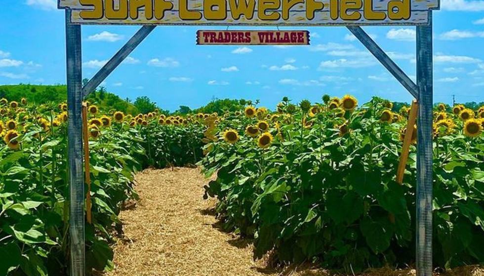 Sunflower Field San Antonio