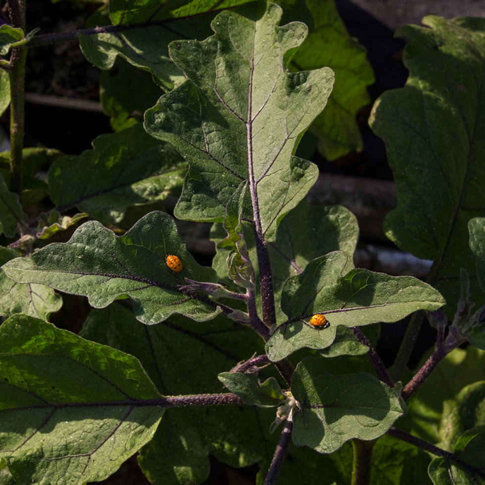 Photo of lady bug pupa on eggplant leaf