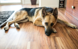 pet policy image: german shepard laying on hard wood floor