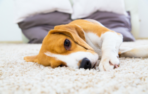 best carpet for rental property image of a beagle puppy laying on carpet and staring into camera