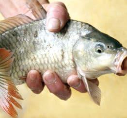 Phòng bệnh xuất huyết cho cá chép