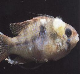 Cách phòng trị bệnh nấm thuỷ mi trên cá (bệnh mốc trắng)