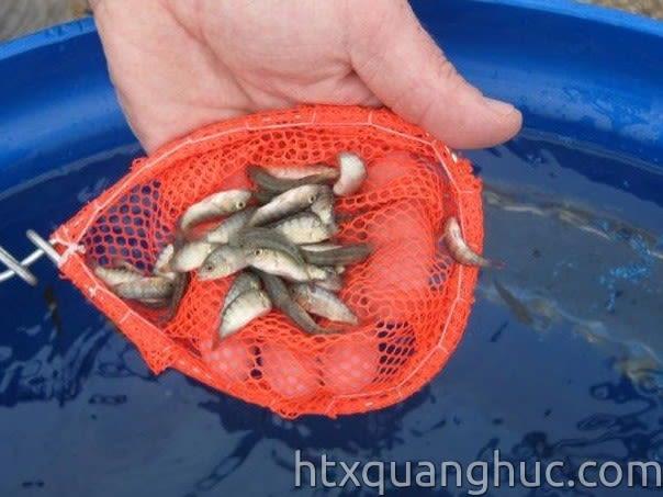 Cá rô phi Đường Nghiệp giống 120 con/kg