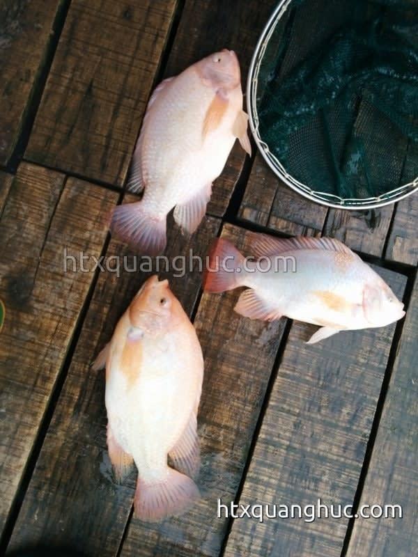 cá điêu hồng thương phẩm nuôi lồng bè trên sông Bứa