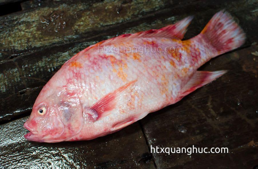 bệnh ký sinh trùng trên cá điêu hồng