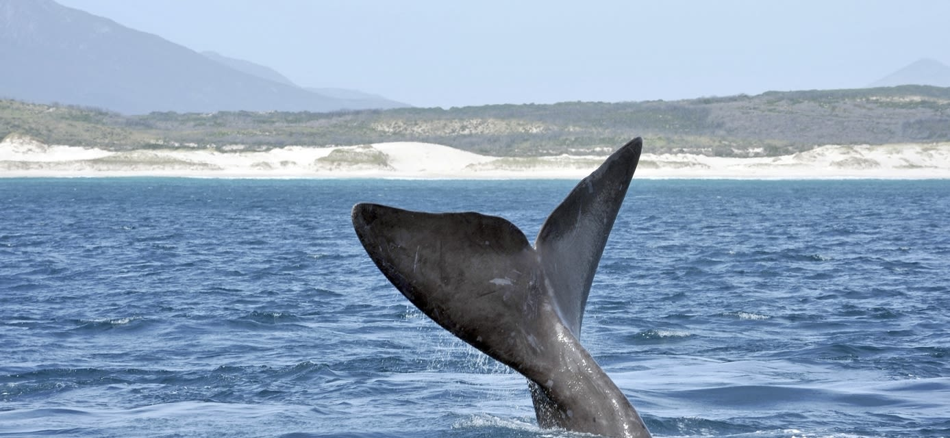 Southern Right Whale, Walker Bay, Hermanus