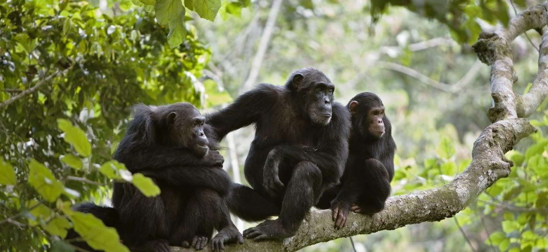 Chimpanzees, Tanzania