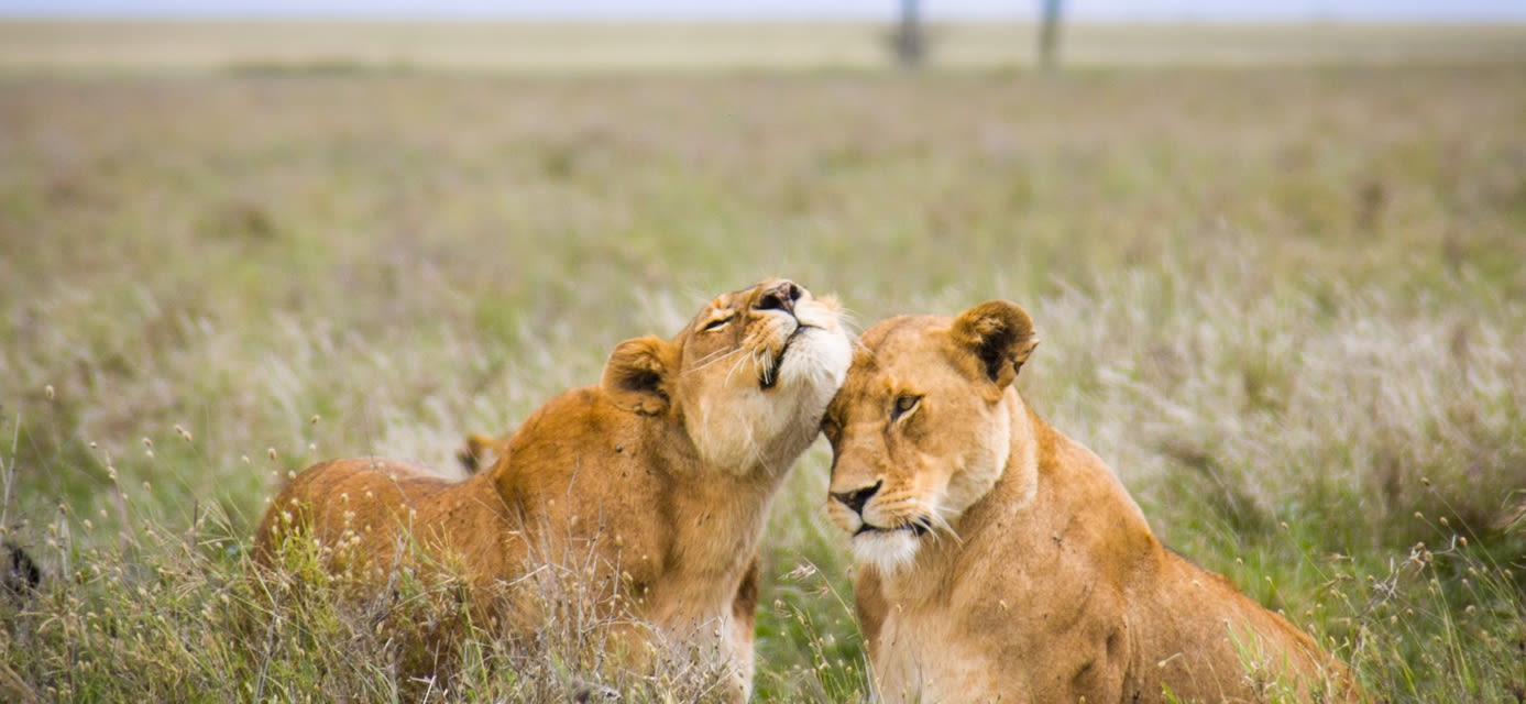 Lionesses, Serengeti National Park, Tanzania