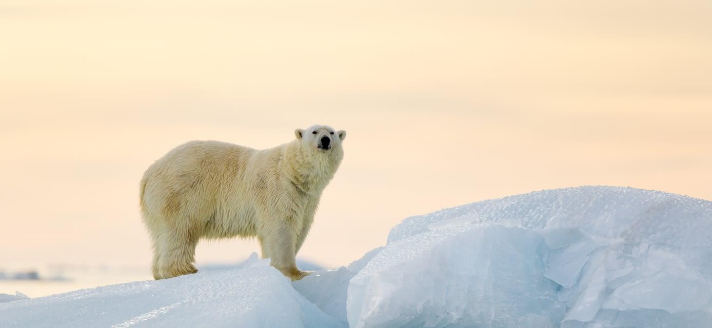Polar bear, Svalbard islands, Norway