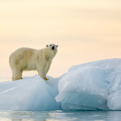Polar bear, Svalbard islands, Norway
