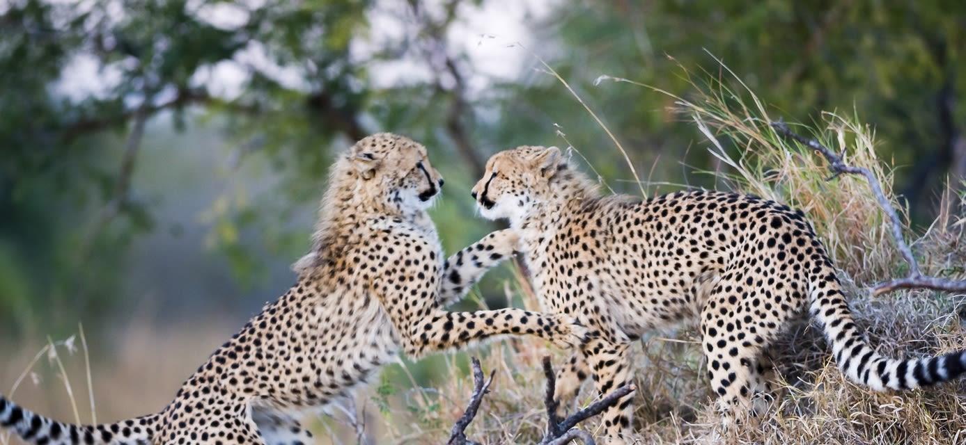 Cheetah cubs, South Africa