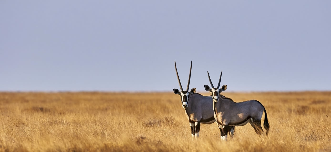 Pair of oryx on the savannah, Etosha National Park, Namibia