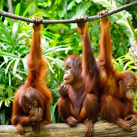 Three young orang utans, Malaysia