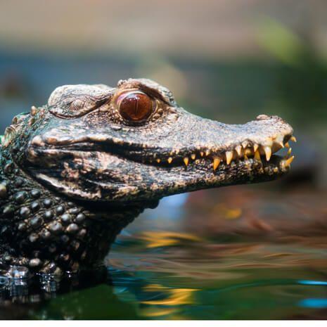 Caiman, Amazon Rainforest