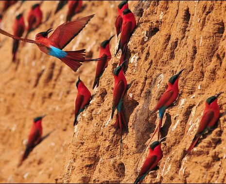 Carmine bee eaters, South Luangwa Valley
