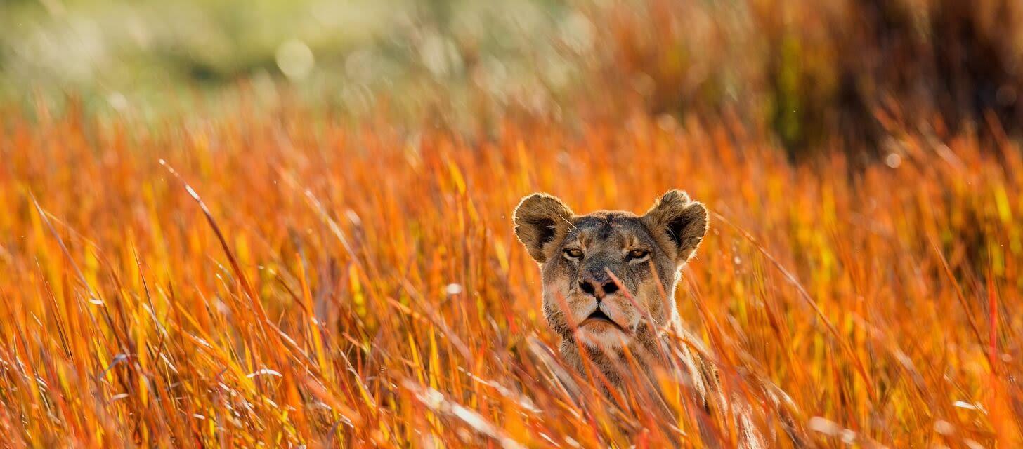 Lioness ambush, Zambia