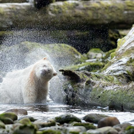Great Bear Rainforest, Kermode Bear