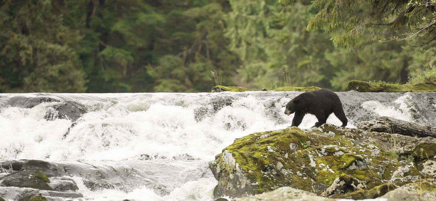 The Grizzly Bears of the Great Bear Rainforest