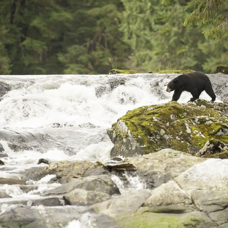 Black bear hunting in The Great Bear Rainforest, Canada