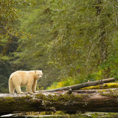 Spirit Bear hunting in Canada