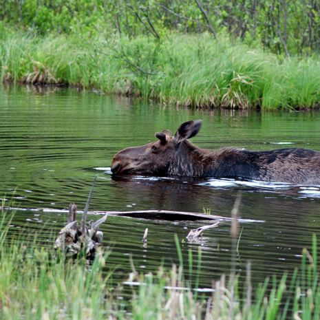 Moose wading through river Algonquin Provincial Park, Canada